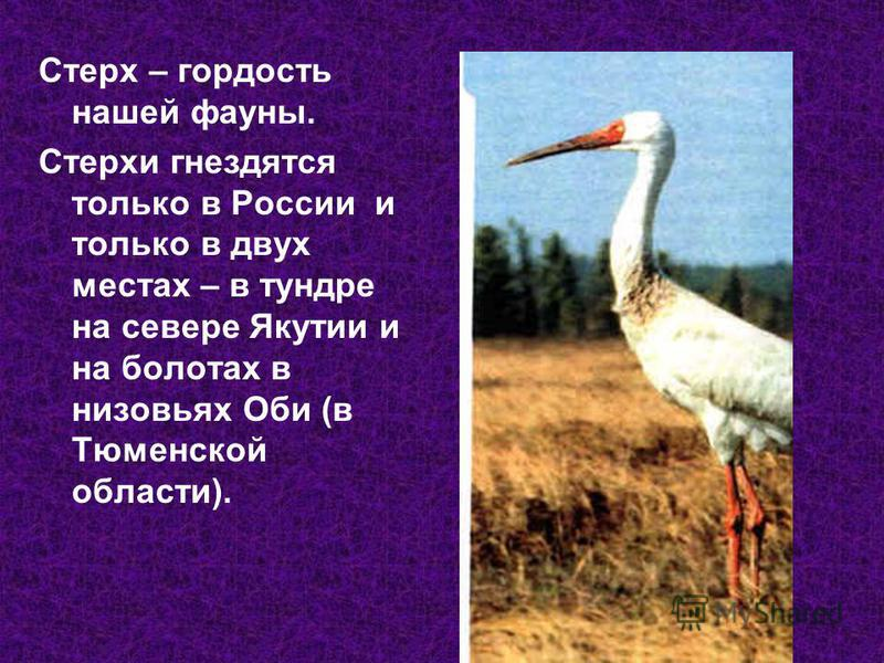 Стерх – гордость нашей фауны. Стерхи гнездятся только в России и только в двух местах – в тундре на севере Якутии и на болотах в низовьях Оби (в Тюменской области).