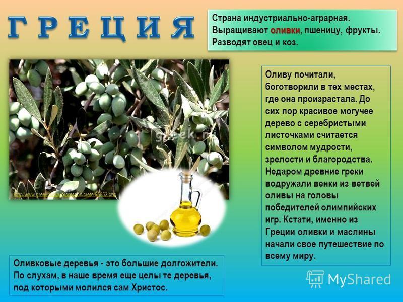 оливки Страна индустриально-аграрная. Выращивают оливки, пшеницу, фрукты. Разводят овец и коз. http://www.greek.ru/tur/impression/crete/55853. php Оливу почитали, боготворили в тех местах, где она произрастала. До сих пор красивое могучее дерево с се