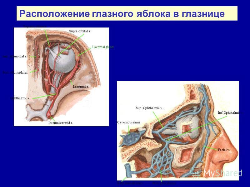 Internal carotid a. Ophthalmic a. Lacrimal a. Post. ethmoidal a. Ant. ethmoidal a. Supratrochlear a. Supra-orbital a. Lacrimal gland Facial v. Sup. Ophthalmic v. Cavernous sinus Pterygoid plexus Inf. Ophthalmic v. Retromandibular v. Расположение глаз