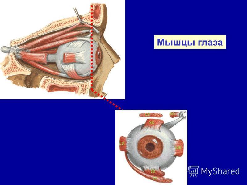Мышцы глаза LP SR SO IO IR MR LR