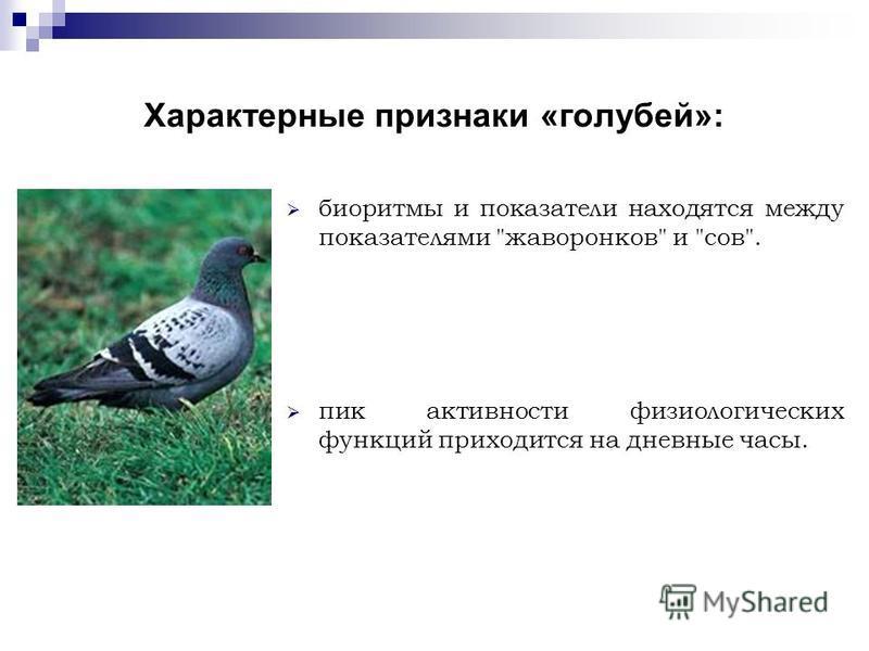 Характерные признаки «голубей»: биоритмы и показатели находятся между показателями жаворонков и сов. пик активности физиологических функций приходится на дневные часы.