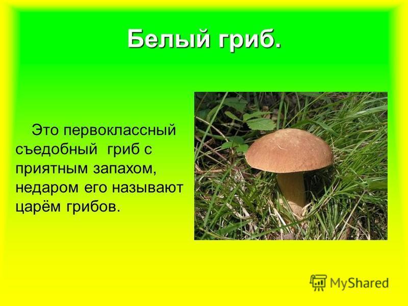 Белый гриб. Это первоклассный съедобный гриб с приятным запахом, недаром его называют царём грибов.