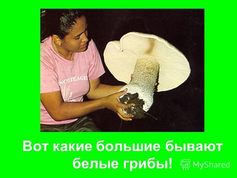 Вот какие большие бывают белые грибы!