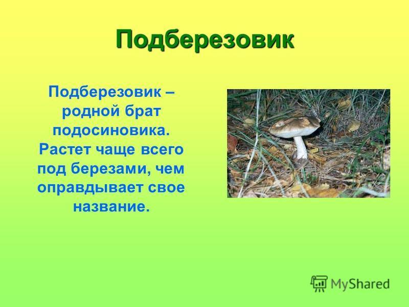 Подберезовик Подберезовик – родной брат подосиновика. Растет чаще всего под березами, чем оправдывает свое название.