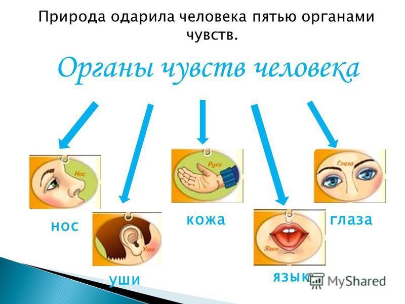 Природа одарила человека пятью органами чувств. Органы чувств человека нос кожа глаза уши язык