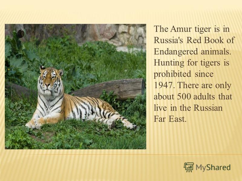 The Amur tiger is in Russia's Red Book of Endangered animals. Hunting for tigers is prohibited since 1947. There are only about 500 adults that live in the Russian Far East.
