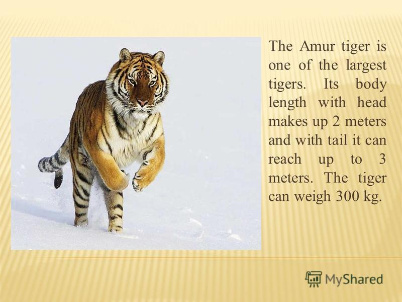 The Amur tiger is one of the largest tigers. Its body length with head makes up 2 meters and with tail it can reach up to 3 meters. The tiger can weigh 300 kg.