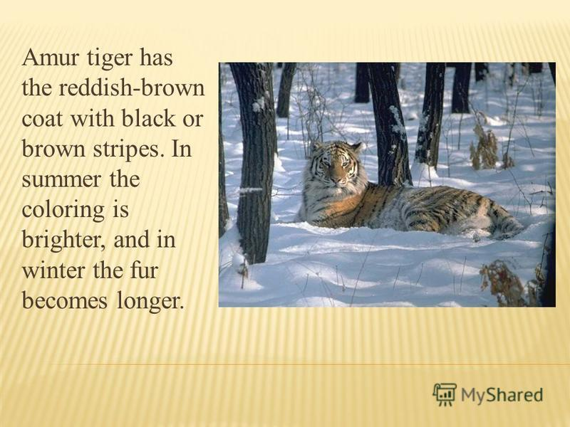 Amur tiger has the reddish-brown coat with black or brown stripes. In summer the coloring is brighter, and in winter the fur becomes longer.