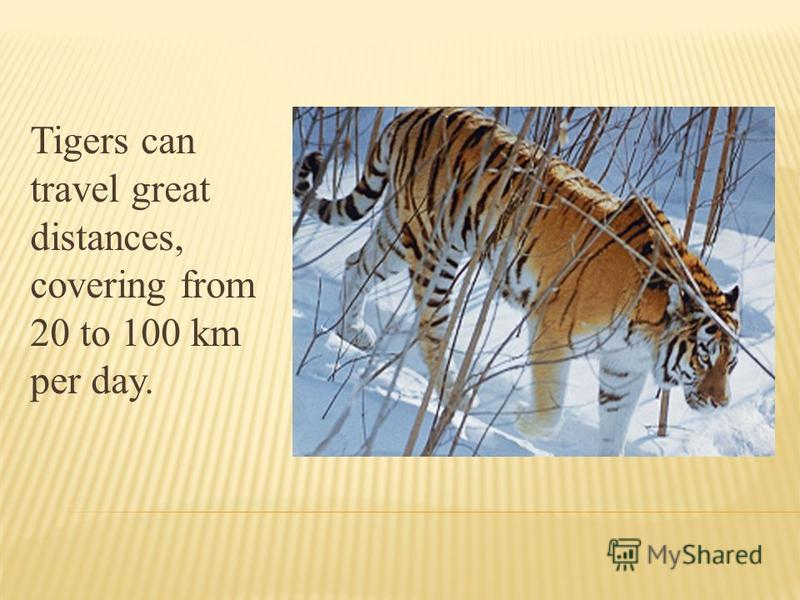 Tigers can travel great distances, covering from 20 to 100 km per day.