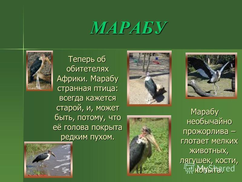 МАРАБУ Теперь об обитателях Африки. Марабу странная птица: всегда кажется старой, и, может быть, потому, что её голова покрыта редким пухом. Теперь об обитателях Африки. Марабу странная птица: всегда кажется старой, и, может быть, потому, что её голо