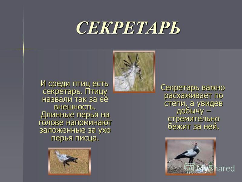 СЕКРЕТАРЬ И среди птиц есть секретарь. Птицу назвали так за её внешность. Длинные перья на голове напоминают заложенные за ухо перья писца. Секретарь важно расхаживает по степи, а увидев добычу – стремительно бежит за ней.