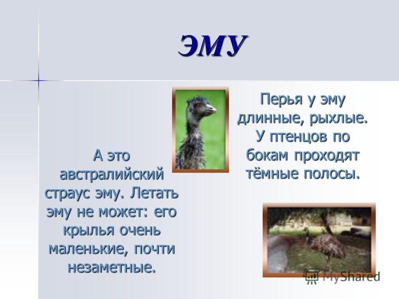 ЭМУ А это австралийский страус эму. Летать эму не может: его крылья очень маленькие, почти незаметные. А это австралийский страус эму. Летать эму не может: его крылья очень маленькие, почти незаметные. Перья у эму длинные, рыхлые. У птенцов по бокам