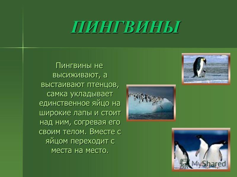 ПИНГВИНЫ Пингвины не высиживают, а выстаивают птенцов, самка укладывает единственное яйцо на широкие лапы и стоит над ним, согревая его своим телом. Вместе с яйцом переходит с места на место. Пингвины не высиживают, а выстаивают птенцов, самка уклады