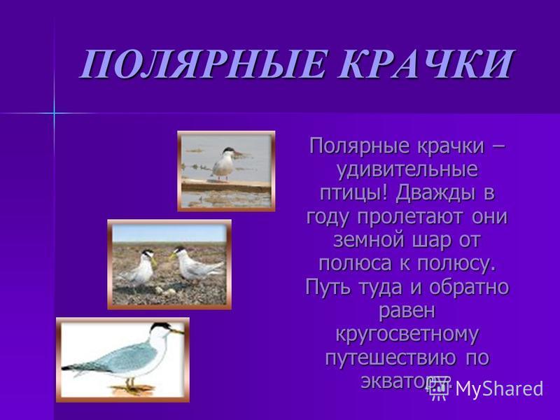 ПОЛЯРНЫЕ КРАЧКИ Полярные крачки – удивительные птицы! Дважды в году пролетают они земной шар от полюса к полюсу. Путь туда и обратно равен кругосветному путешествию по экватору. Полярные крачки – удивительные птицы! Дважды в году пролетают они земной