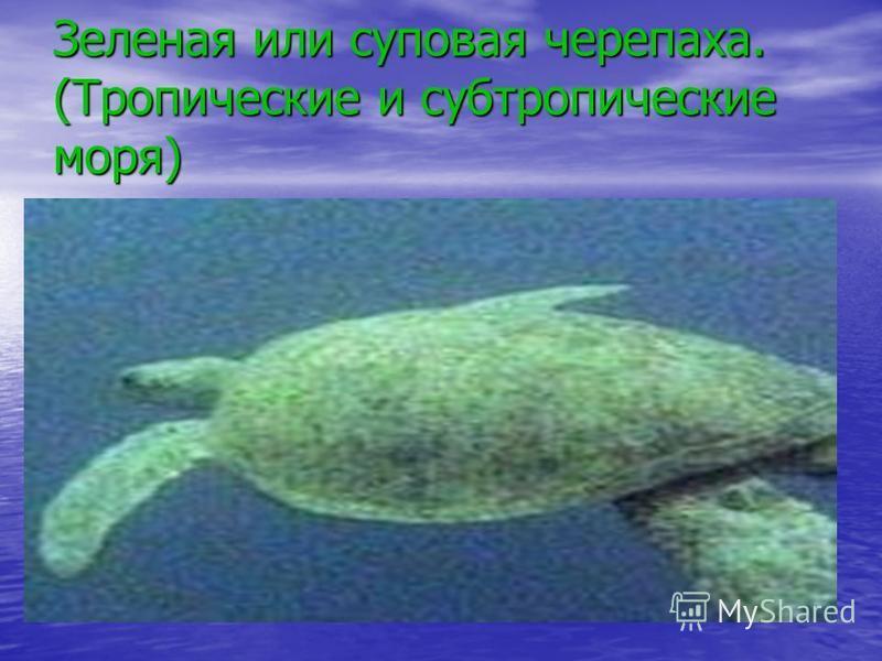 Зеленая или суповая черепаха. (Тропические и субтропические моря)