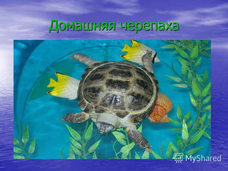 Домашняя черепаха