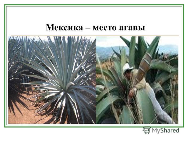 Мексика – место агавы