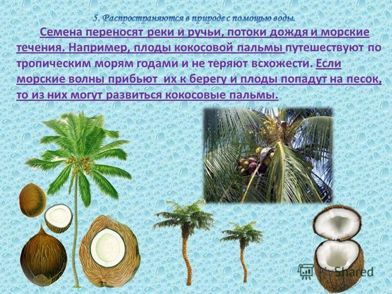 Семена переносят реки и ручьи, потоки дождя и морские течения. Например, плоды кокосовой пальмы путешествуют по тропическим морям годами и не теряют всхожести. Если морские волны прибьют их к берегу и плоды попадут на песок, то из них могут развиться