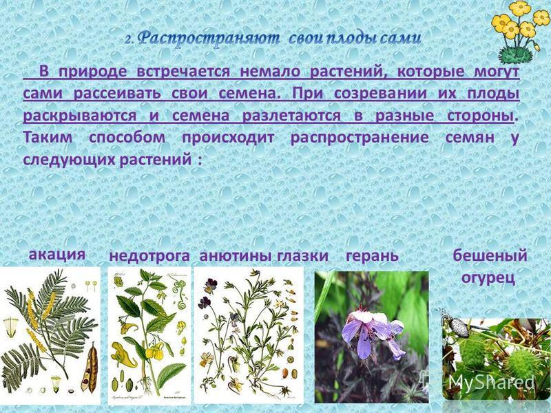 В природе встречается немало растений, которые могут сами рассеивать свои семена. При созревании их плоды раскрываются и семена разлетаются в разные стороны. Таким способом происходит распространение семян у следующих растений : акация недотрога анют