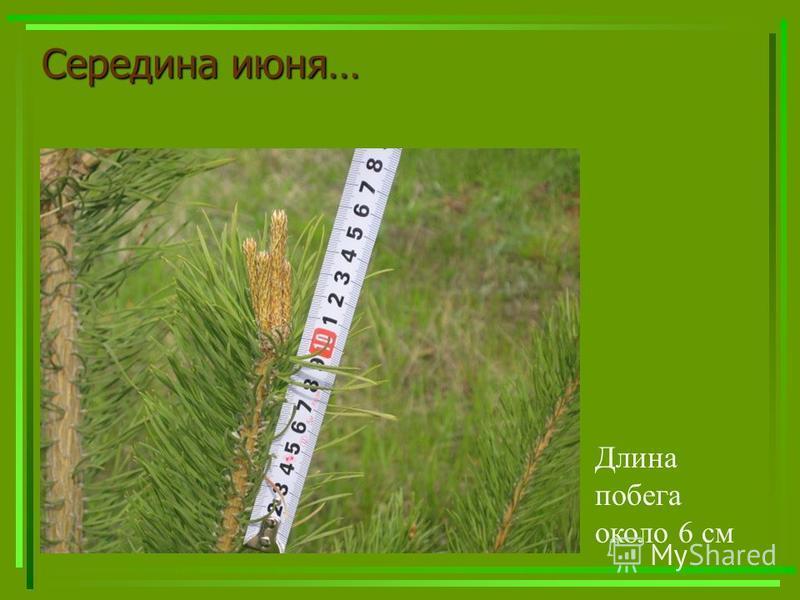 Середина июня… Длина побега около 6 см