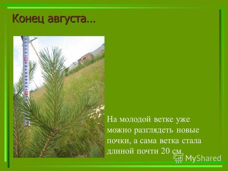Конецавгуста… Конец августа… На молодой ветке уже можно разглядеть новые почки, а сама ветка стала длиной почти 20 см