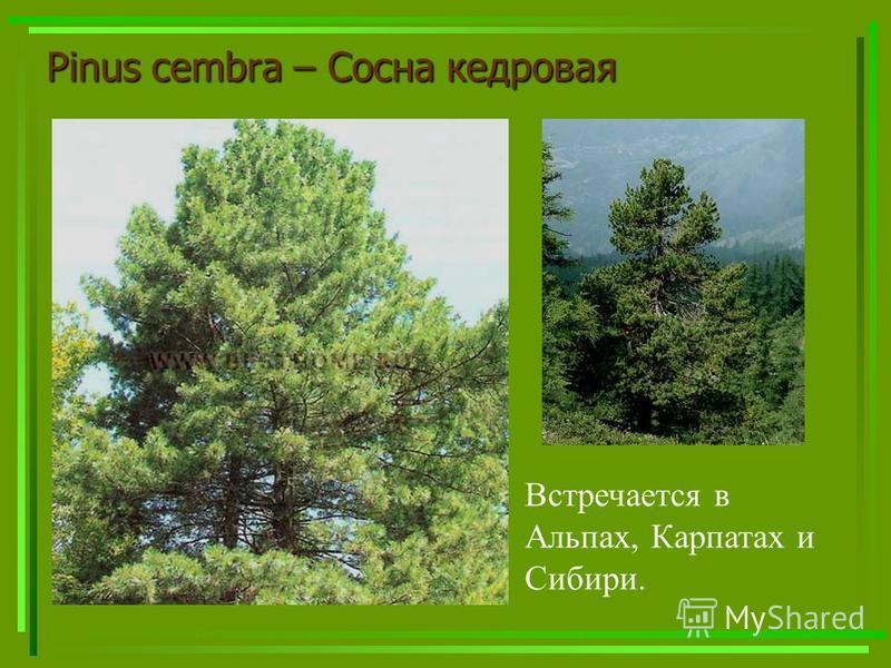 Pinus cembra – Сосна кедровая Встречается в Альпах, Карпатах и Сибири.