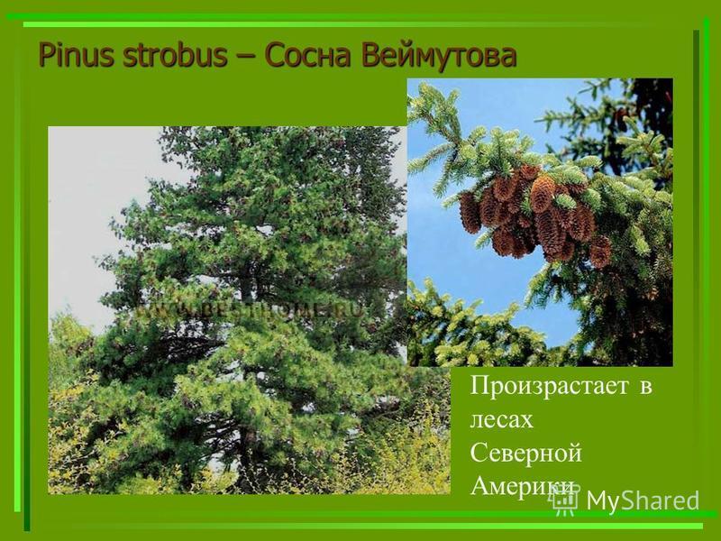 Pinus strobus – Сосна Веймутова Произрастает в лесах Северной Америки