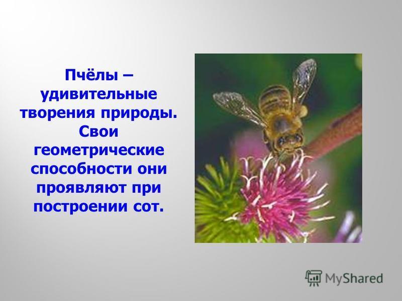 Пчёлы – удивительные творения природы. Свои геометрические способности они проявляют при построении сот.
