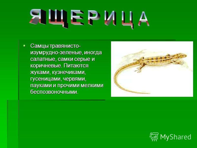 Самцы травянисто- изумрудно-зеленые, иногда салатные, самки серые и коричневые. Питаются жуками, кузнечиками, гусеницами, червями, пауками и прочими мелкими беспозвоночными. Самцы травянисто- изумрудно-зеленые, иногда салатные, самки серые и коричнев