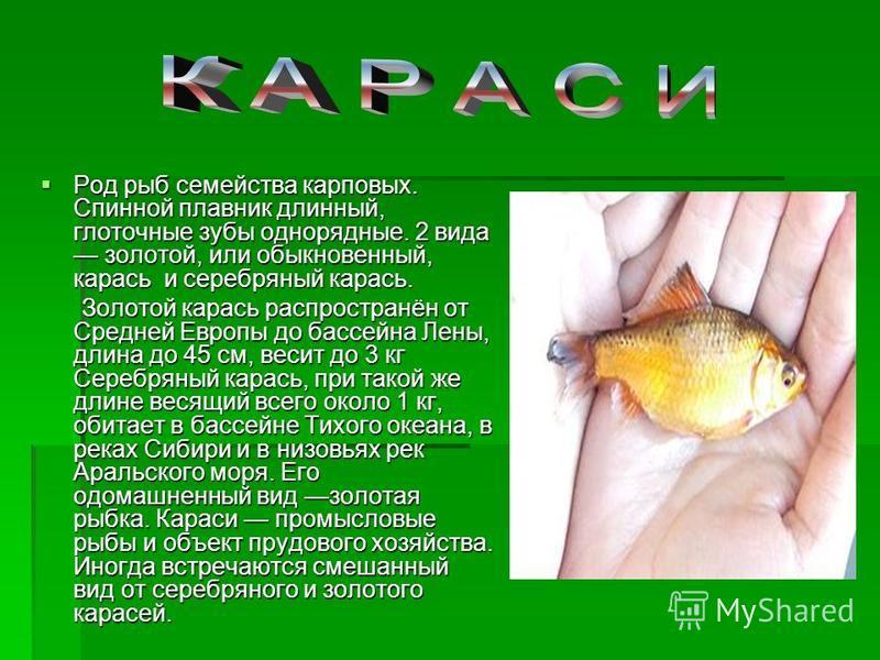 Род рыб семейства карповых. Спинной плавник длинный, глоточные зубы однорядные. 2 вида золотой, или обыкновенный, карась и серебряный карась. Род рыб семейства карповых. Спинной плавник длинный, глоточные зубы однорядные. 2 вида золотой, или обыкнове