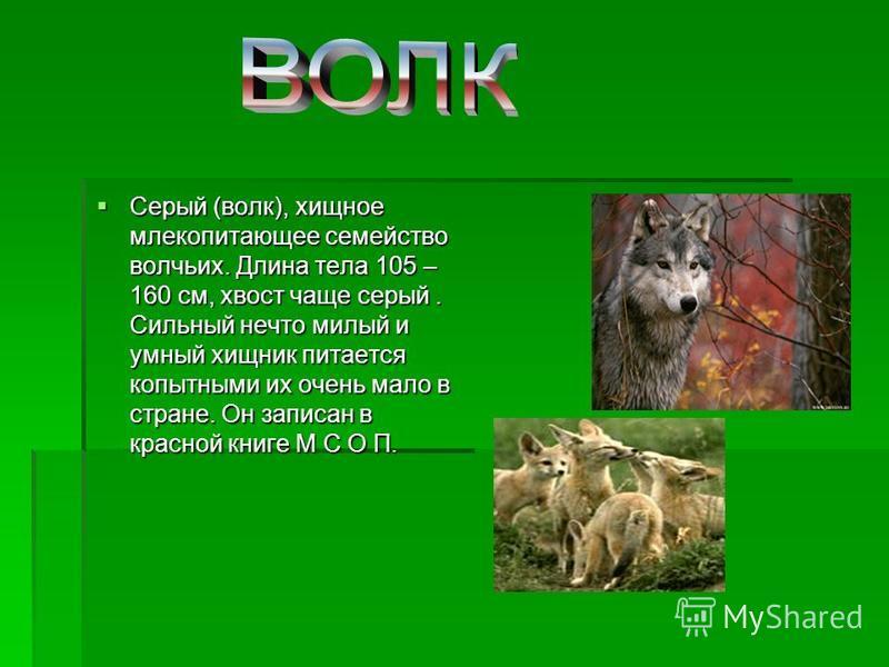 Серый (волк), хищное млекопитающее семейство волчьих. Длина тела 105 – 160 см, хвост чаще серый. Сильный нечто милый и умный хищник питается копытными их очень мало в стране. Он записан в красной книге М С О П. Серый (волк), хищное млекопитающее семе