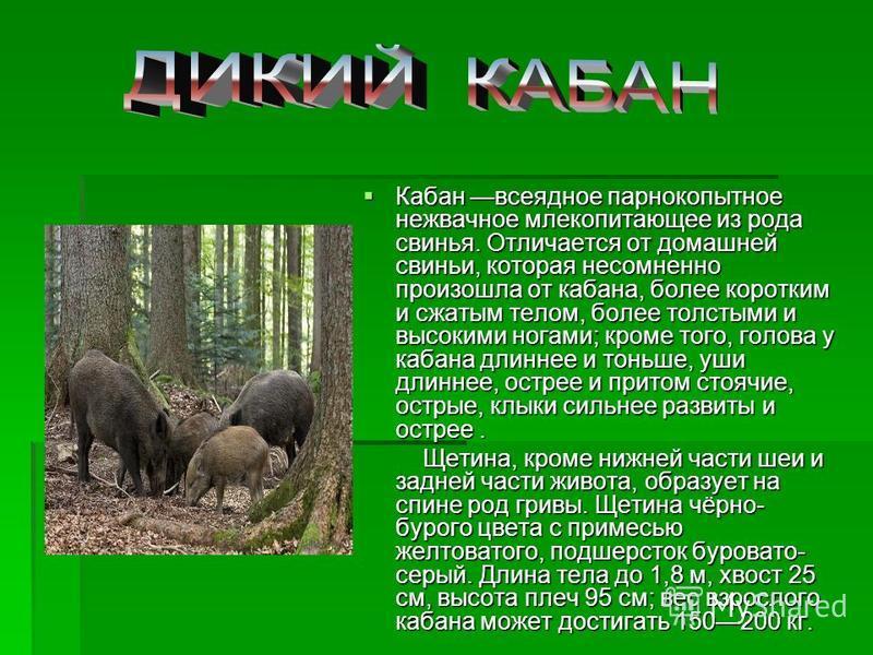 Кабан всеядное парнокопытное нежвачное млекопитающее из рода свинья. Отличается от домашней свиньи, которая несомненно произошла от кабана, более коротким и сжатым телом, более толстыми и высокими ногами; кроме того, голова у кабана длиннее и тоньше,