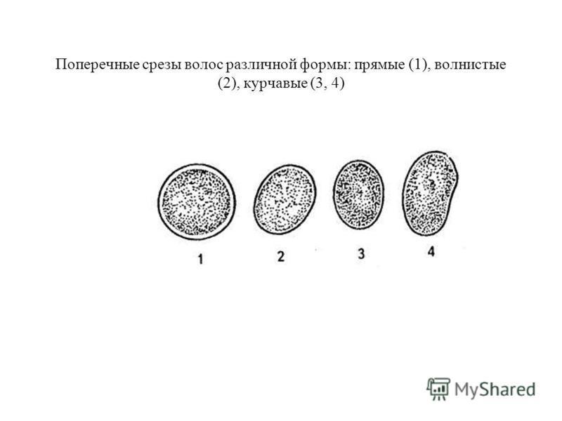 Поперечные срезы волос различной формы: прямые (1), волнистые (2), курчавые (3, 4)