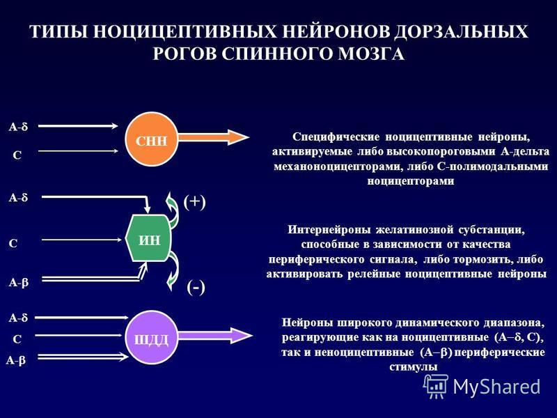 ТИПЫ НОЦИЦЕПТИВНЫХ НЕЙРОНОВ ДОРЗАЛЬНЫХ РОГОВ СПИННОГО МОЗГА Специфические ноцицептивные нейроны, активируемые либо высокопороговыми А-дельта механоноцицепторами, либо С-полимодальными ноцицепторами Интернейроны желатинозной субстанции, способные в за