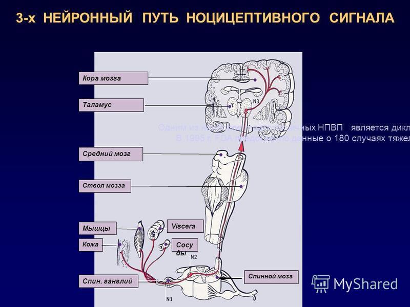 Кора мозга Таламус Средний мозг Ствол мозга Мышцы Кожа Спин. ганглий Viscera Сосу ды Спинной мозг 3-х НЕЙРОННЫЙ ПУТЬ НОЦИЦЕПТИВНОГО СИГНАЛА Одним из наиболее гепатотоксичных НПВП является диклофенак. В 1995 г. FDA представило данные о 180 случаях тяж