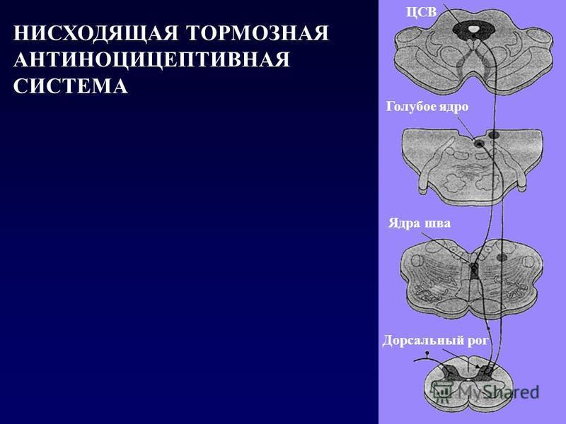 Голубое ядро Ядра шва ЦСВ Дорсальный рог НИСХОДЯЩАЯ ТОРМОЗНАЯ АНТИНОЦИЦЕПТИВНАЯ СИСТЕМА