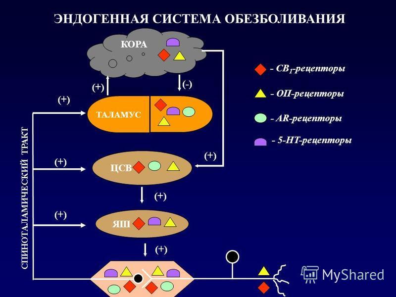 ЦСВ ЯШ - СВ 1 -рецепторы КОРА СПИНОТАЛАМИЧЕСКИЙ ТРАКТ (+) (-) (+) - ОП-рецепторы - AR-рецепторы - 5-HT-рецепторы ЭНДОГЕННАЯ СИСТЕМА ОБЕЗБОЛИВАНИЯ ТАЛАМУС