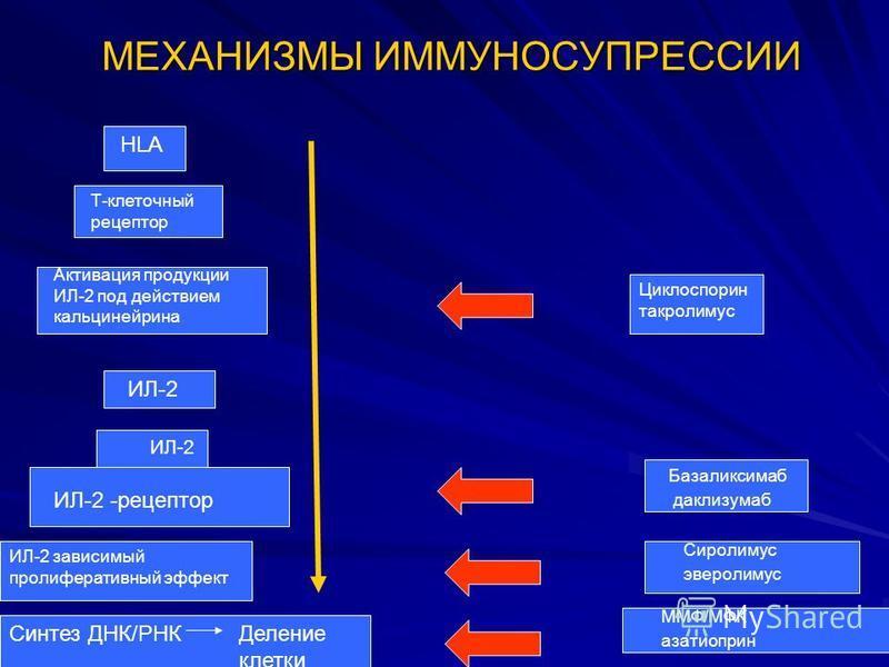 МЕХАНИЗМЫ ИММУНОСУПРЕССИИ HLA Т-клеточный рецептор Активация продукции ИЛ-2 под действием кальцинейрина ИЛ-2 ИЛ-2 -рецептор ИЛ-2 зависимый пролиферативный эффект Синтез ДНК/РНКДеление клетки Циклоспорин такролимус Базаликсимаб даклизумаб Сиролимус эв