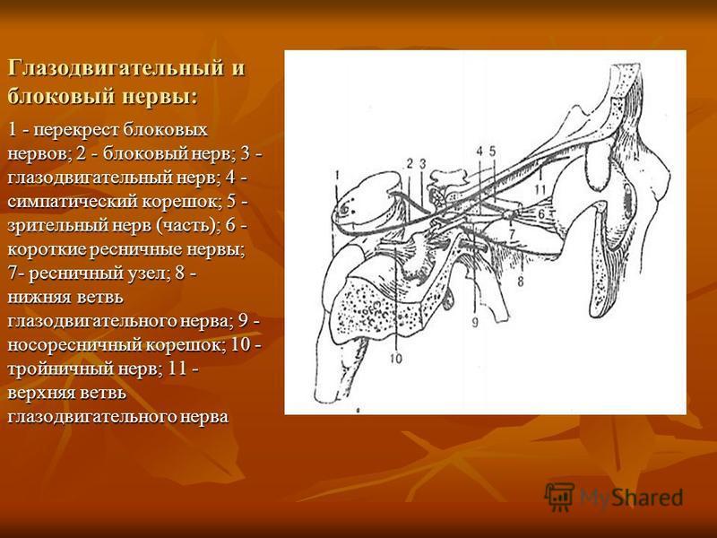 Глазодвигательный и блоковый нервы: 1 - перекрест блоковых нервов; 2 - блоковый нерв; 3 - глазодвигательный нерв; 4 - симпатический корешок; 5 - зрительный нерв (часть); 6 - короткие ресничные нервы; 7- ресничный узел; 8 - нижняя ветвь глазодвигатель