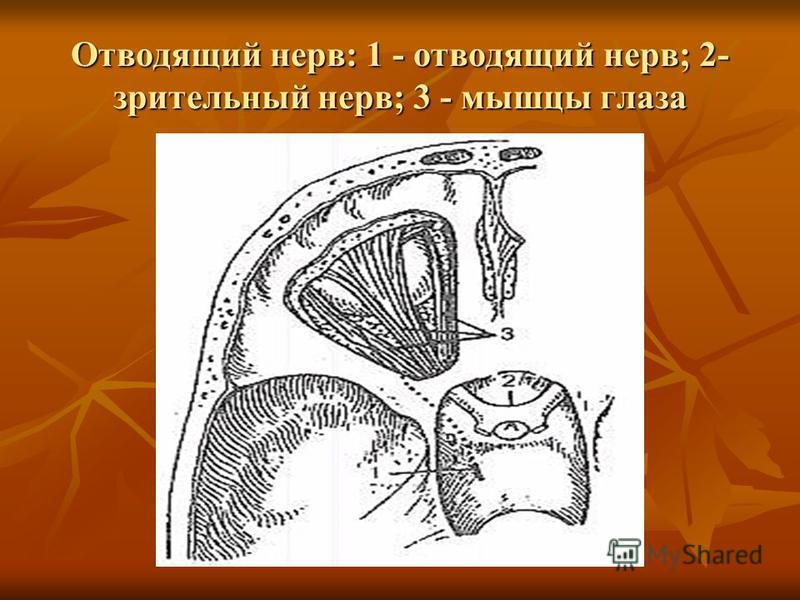 Отводящий нерв: 1 - отводящий нерв; 2- зрительный нерв; 3 - мышцы глаза