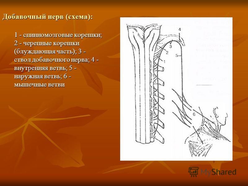 Добавочный нерв (схема): 1 - спинномозговые корешки; 2 - черепные корешки (блуждающая часть); 3 - ствол добавочного нерва; 4 - внутренняя ветвь; 5 - наружная ветвь; 6 - мышечные ветви