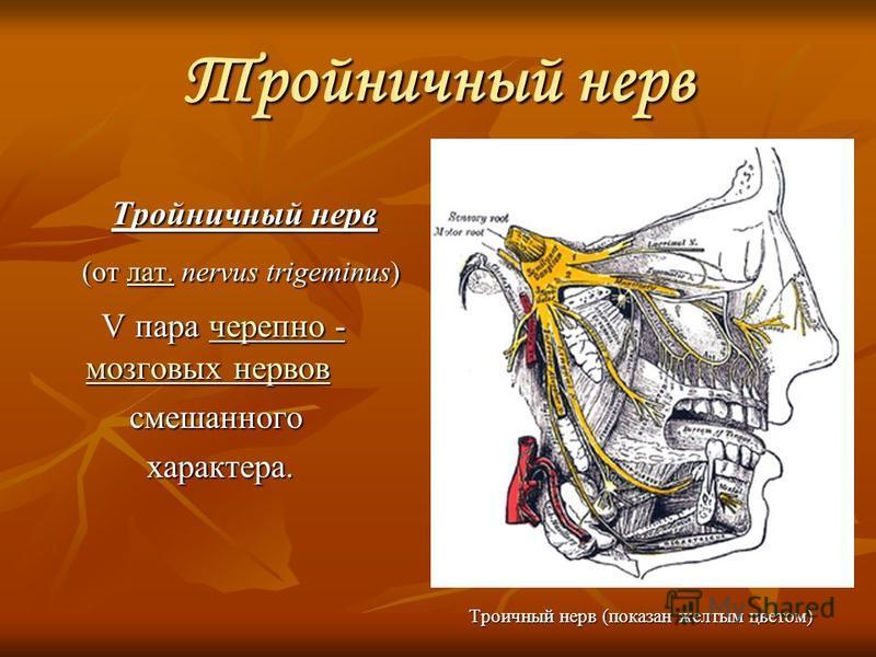Тройничный нерв Тройничный нерв Тройничный нерв (от лат. nervus trigeminus) (от лат. nervus trigeminus)лат. V пара черепно - мозговых нервов V пара черепно - мозговых нервов черепно - мозговых нервов черепно - мозговых нервов смешанного смешанного ха
