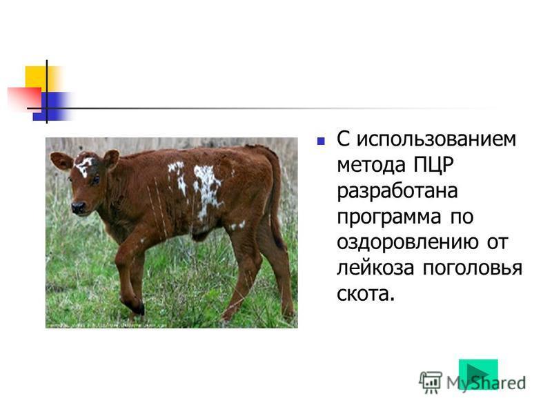С использованием метода ПЦР разработана программа по оздоровлению от лейкоза поголовья скота.
