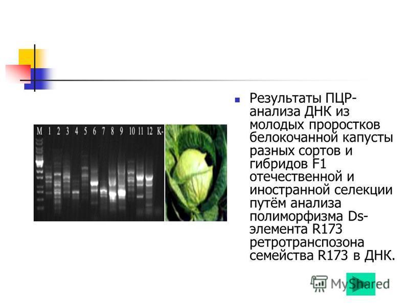 Результаты ПЦР- анализа ДНК из молодых проростков белокочанной капусты разных сортов и гибридов F1 отечественной и иностранной селекции путём анализа полиморфизма Ds- элемента R173 ретротранспозона семейства R173 в ДНК.