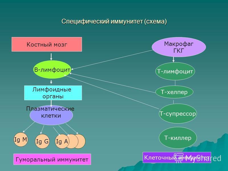 Специфический иммунитет (схема) Макрофаг ГКГ Костный мозг В-лимфоцит Т-лимфоцит Лимфоидные органы Плазматические клетки Ig M Ig GIg A Т-хелпер Т-супрессор Т-киллер Клеточный иммунитет Гуморальный иммунитет