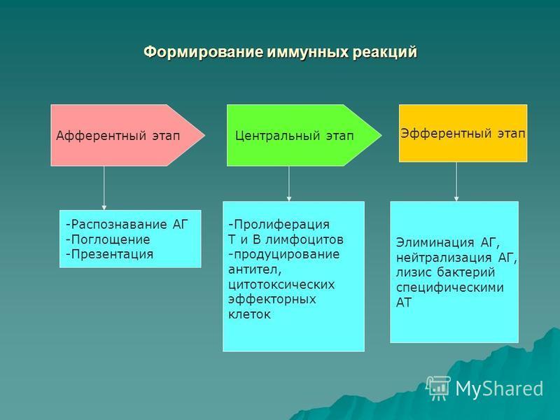 Формирование иммунных реакций Афферентный этап Центральный этап Эфферентный этап -Распознавание АГ -Поглощение -Презентация -Пролиферация Т и В лимфоцитов -продуцирование антител, цитотоксических эффекторных клеток Элиминация АГ, нейтрализация АГ, ли