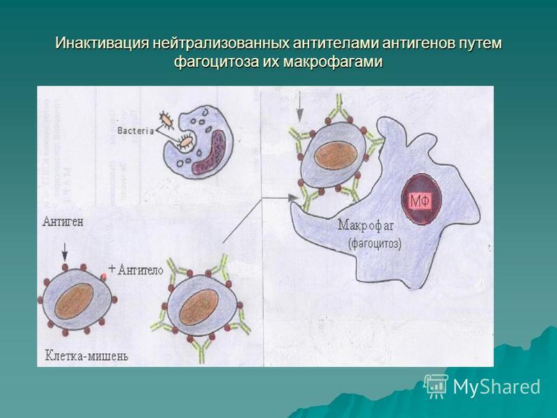 Инактивация нейтрализованных антителами антигенов путем фагоцитоза их макрофагами