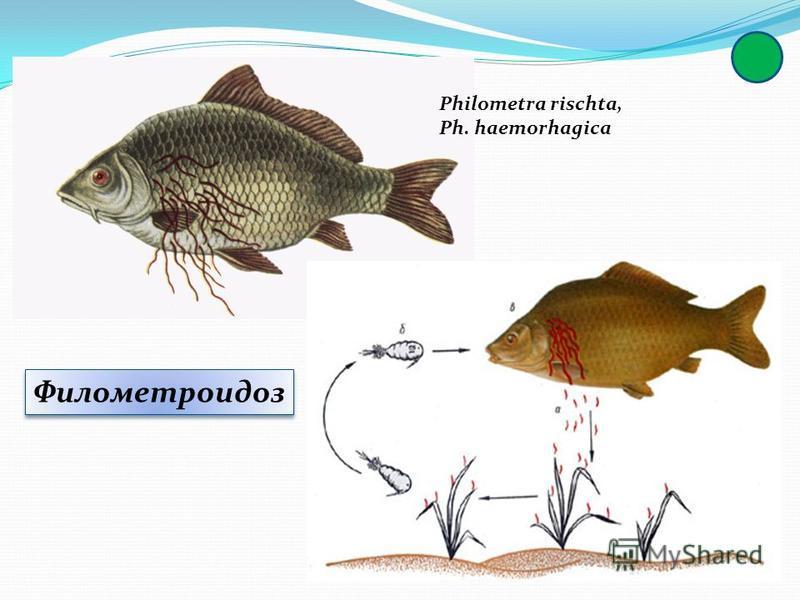 Филометроидоз Филометроидоз Philometra rischta, Ph. haemorhagica