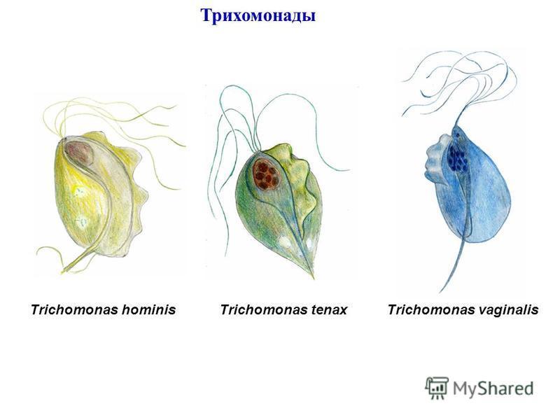 Trichomonas hominisTrichomonas tenaxTrichomonas vaginalis Трихомонады