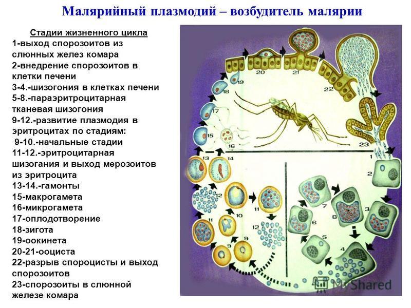 Малярийный плазмодий – возбудитель малярии Стадии жизненного цикла 1-выход спорозоитов из слюнных желез комара 2-внедрение спорозоитов в клетки печени 3-4.-шизогония в клетках печени 5-8.-пара эритроцитарная тканевая шизогония 9-12.-развитие плазмоди